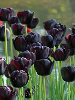 CEBULKA TULIPAN QUEEN OF THE NIGHT